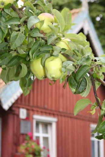 A tree laden with apples in the middle of Juodrante
